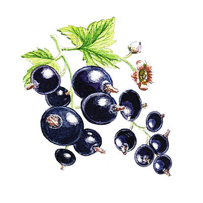 Blackcurrant Berries  Art Print by Irina Sztukowski