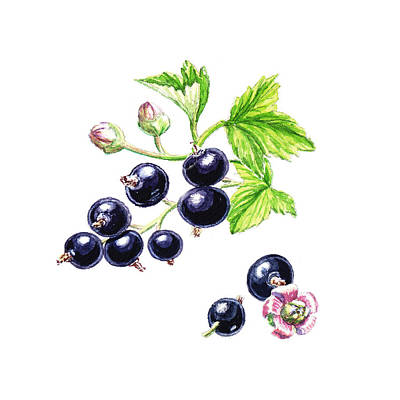 Blackcurrant Botanical Design Art Print by Irina Sztukowski