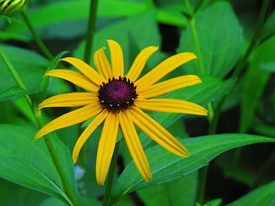 Photograph - Blackeye Susan by Kathy Long
