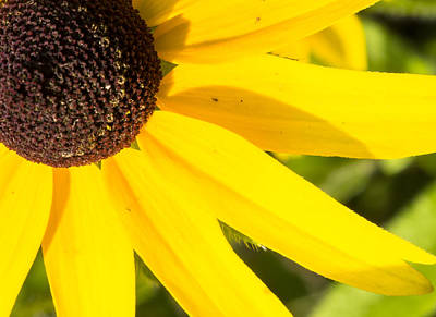 Photograph - Blackeyed Susan by Steven Ralser
