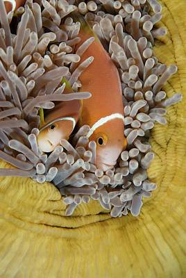 Pomacentridae Photograph - Blackfooted Anemonefish In The Maldives by Scubazoo
