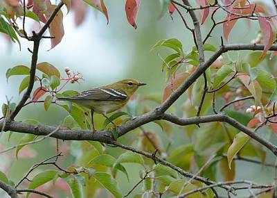 Blackpoll Warbler In The Fall Art Print