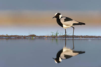 Lapwing Wall Art - Photograph - Blacksmith Lapwing by Dr P. Marazzi/science Photo Library