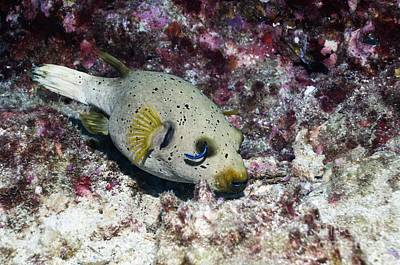 Blackspotted Photograph - Blackspotted Puffer And Cleaner Wrasse by Georgette Douwma