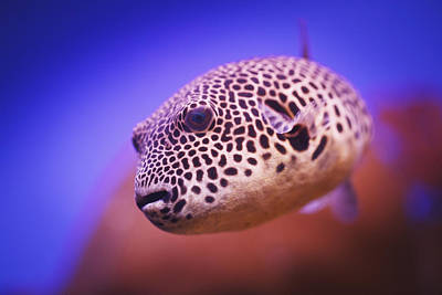 Blackspotted Photograph - Blackspotted Puffer Arothron by Reynold Mainse