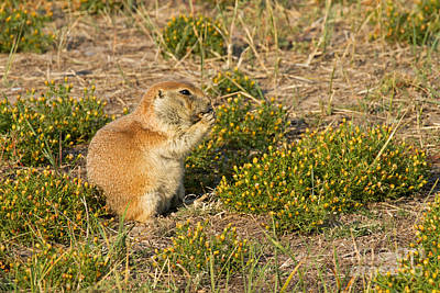 Photograph - Blacktail Prairie Dog In Roberts Prairie Dog Town by Fred Stearns