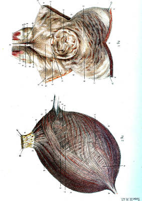 Bladder Anatomy Print by Collection Abecasis