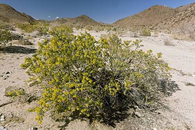 Bladderpod (cleome Isomeris) Print by Science Photo Library