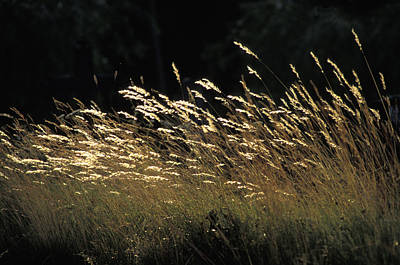 Blades Of Grass In The Sunlight Art Print by Jim Holmes