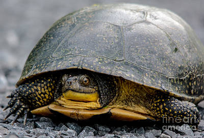 Photograph - Blandings Turtle by Cheryl Baxter