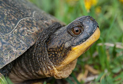 Photograph - Blanding's Turtle by Jim Zablotny