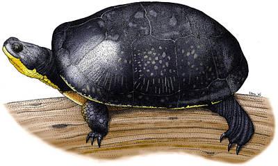 Blandings Turtle Art Print by Roger Hall