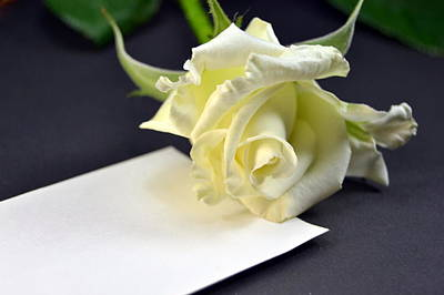 Photograph - Blank Card With A White Rose  by Blanchi Costela