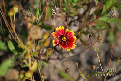 Photograph - Blanket Flower by Bob Sample