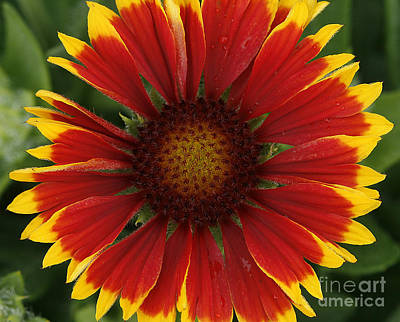 Gaillardia Photograph - Blanket Flower by Cindi Ressler