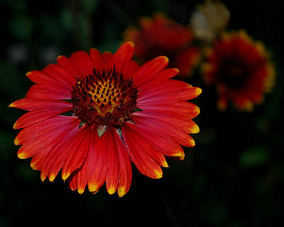 Photograph - Blanket Flower I  by Dakota Light Photography By Dakota