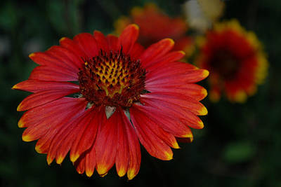 Photograph - Blanket Flower II by Dakota Light Photography By Dakota