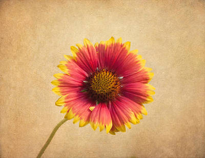 Gaillardia Photograph - Blanket Flower by Kim Hojnacki