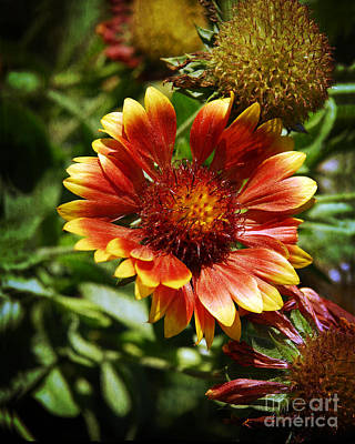 Photograph - Blanket Flower by Lee Craig