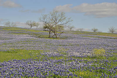 Blanket Of Bluebonnets Original by ARTography by Pamela Smale Williams