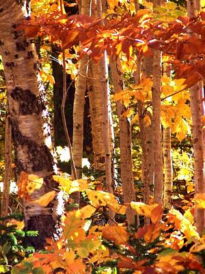 Photograph - Blazing Birches by George Cousins