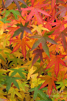 Photograph - Blazing Maples by Frank Townsley