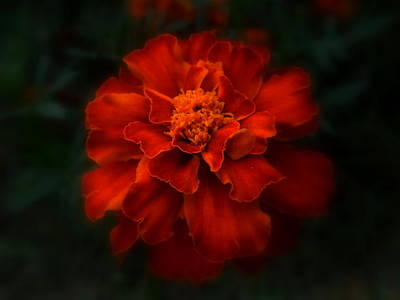 Photograph - Blazing Marigold by Diannah Lynch