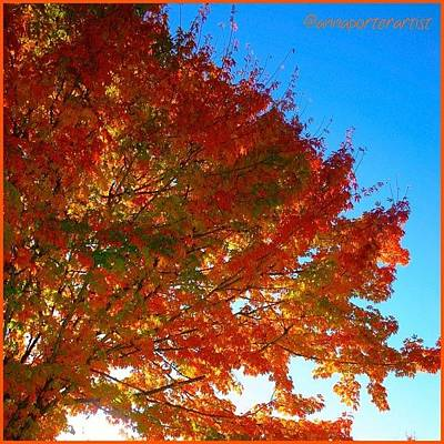 Sunny Photograph - Blazing Orange Maple Tree by Anna Porter