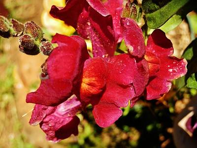 Photograph - Blazing Snapdragons by VLee Watson
