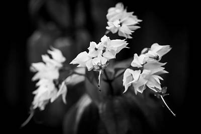Bleeding Heart Flowers Clerodendrum Painted Bw   Art Print by Rich Franco