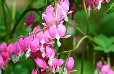 Bleeding Heart Art Print by Karen Silvestri