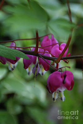 Photograph - Bleeding Heart by Linda Shafer
