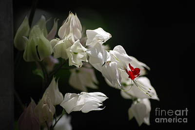 Photograph - Bleeding Heart by Mark McReynolds