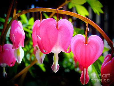 Photograph - Bleeding Heart by Nina Ficur Feenan