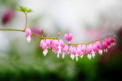 Bleeding Hearts Photograph - Bleeding Hearts 1 by Rebecca Cozart