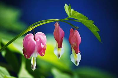 Photograph - Bleeding Hearts by Al Fritz