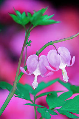 Bleeding Hearts Photograph - Bleeding Hearts Connecting In Garden by Jaynes Gallery