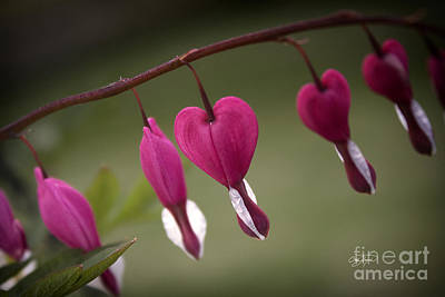 Photograph - Bleeding Hearts by Cris Hayes