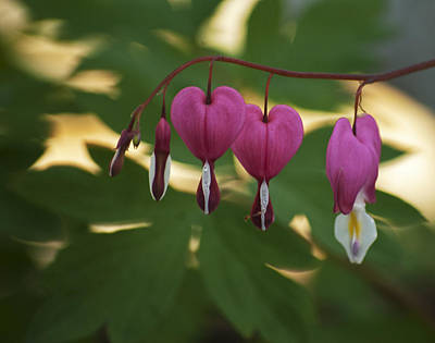 Photograph - Bleeding Hearts by Elsa Marie Santoro