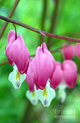Bleeding Hearts Photograph - Bleeding Hearts Flowers by Edward Fielding