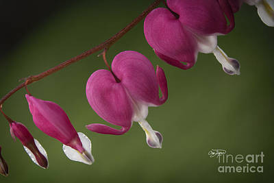 Photograph - Bleeding Hearts II by Cris Hayes