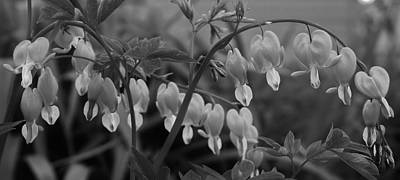 Photograph - Bleeding Hearts In Black And White by Bruce Bley