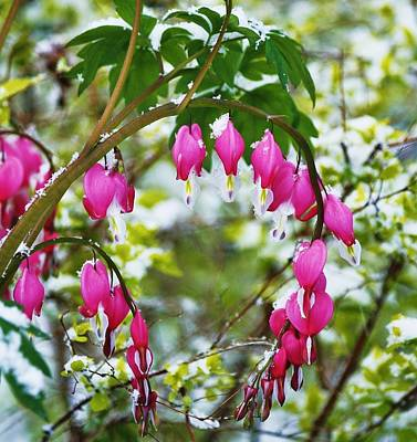 Photograph - Bleeding Hearts In Winterland by Al Fritz