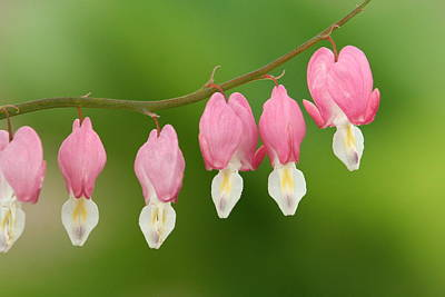 Photograph - Bleeding Hearts by Karen Lindquist
