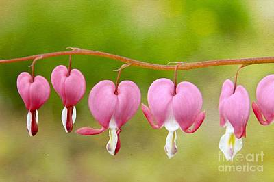 Photograph - Bleeding Hearts by Karin Pinkham