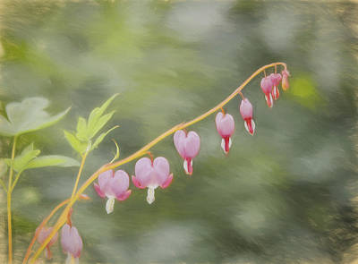 Photograph - Bleeding Hearts by Kim Hojnacki