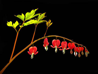 Photograph - Bleeding Hearts Aglow by Carolyn Derstine