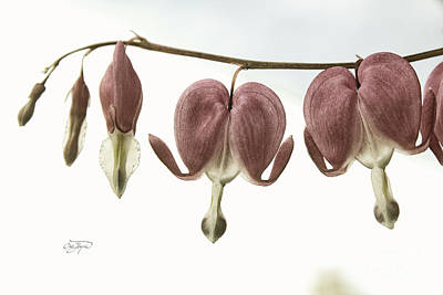 Photograph - Bleeding Hearts Redux by Cris Hayes
