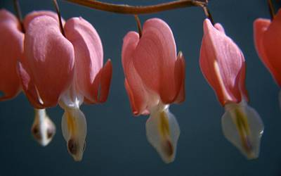Bleeding Hearts Photograph - Bleeding Hearts by Retro Images Archive