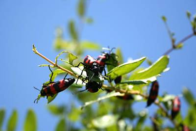 Photograph - Blister Beetle Insect Invasion On Honeysuckle With Blue Sky by Tracey Harrington-Simpson